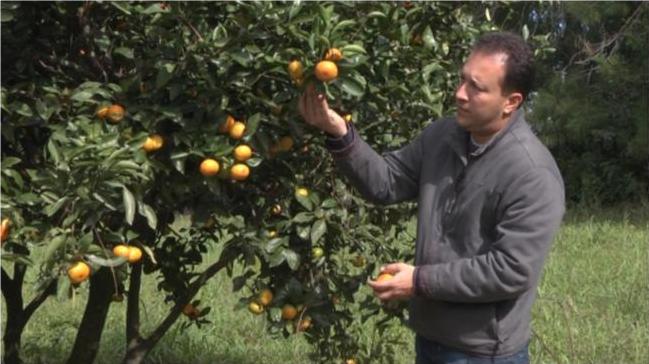 Há três anos, a pesquisa vem incentivando o reaproveitamento dessa frutas, mas alerta que a ação depende da adesão do produtor. Foto: Henrique Cerqueira